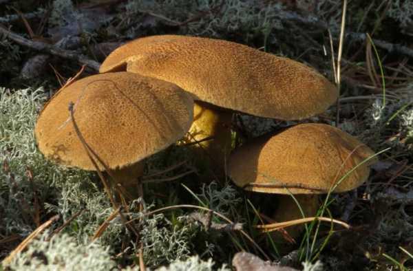 Польский гриб — панская пища