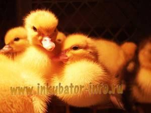 Как правильно произвести инкубацию утиных яиц