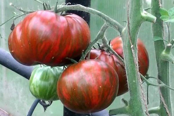 Описание томата полосатый шоколад: характеристика сорта, урожайность