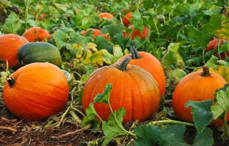 Выращивание тыквы в подмосковье, сибири, средней полосе, на урале: лучшие сорта, уход за рассадой, посев семенами, правила полива, подкормки, сроки созревания