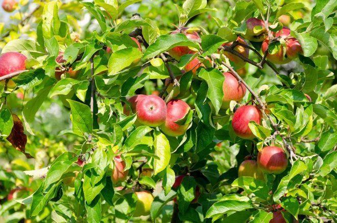 Сорт яблок памяти мичурина: описание и характеристики, выращивание и уход, болезни и вредители selo.guru — интернет портал о сельском хозяйстве
