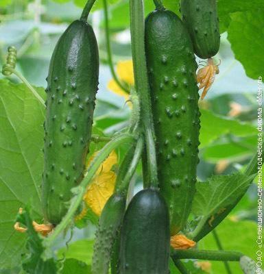 Огурец зозуля f1: отзывы, характеристика и описание сорта, посадка и уход, фото, выращивание в теплице и в открытом грунте