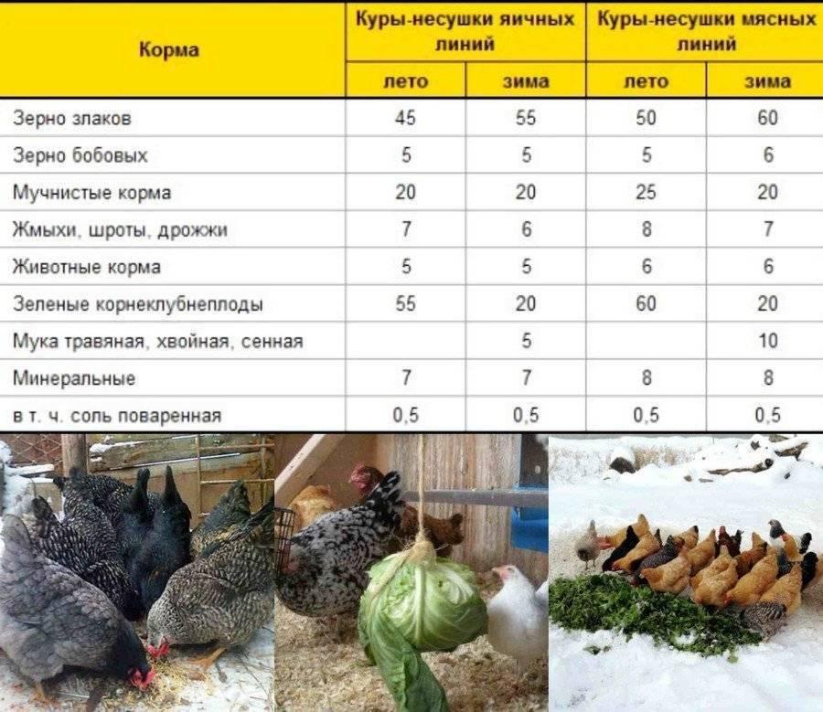 Чем кормить кур. как правильно выкармливать кур-несушек в домашних условиях, чем и сколько раз