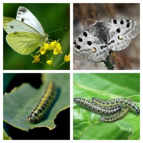 Защита от бабочек капустницы