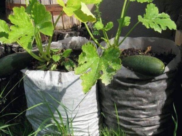 Выращивание кабачков в мешках: пошаговая инструкция и советы по применению технологии, урожай в бочке или ведре