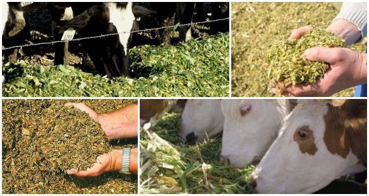 Состав комбикорма для коров, полезные свойства и правила кормления в разном возрасте