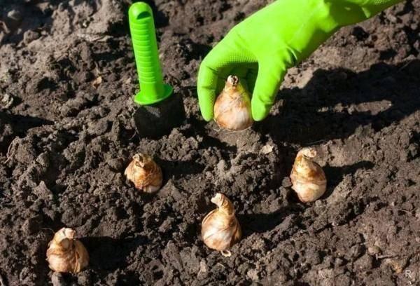Посадка тюльпанов весной (26 фото): в каком месяце можно высаживать луковицы в открытый грунт? как ухаживать и чем удобрять?