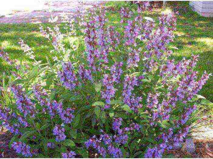 Шалфей: посадка и уход в открытом грунте, выращивание из семян на даче, как обрезать весной и подготовить к зиме, как сеять на рассаду