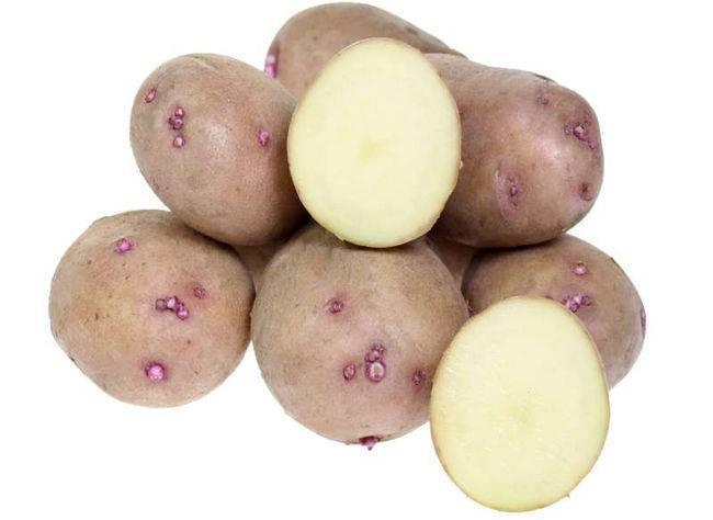 Картофель аврора – описание сорта и отзывы + видео