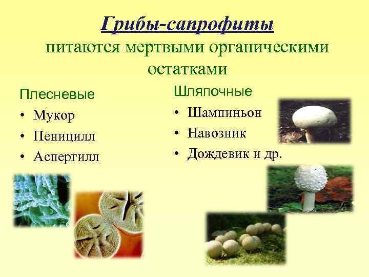Строение грибов. грибы-паразиты, симбионты, сапротрофы. строение грибницы (мицелия), способы питания. плодовые тела, гименофор.
