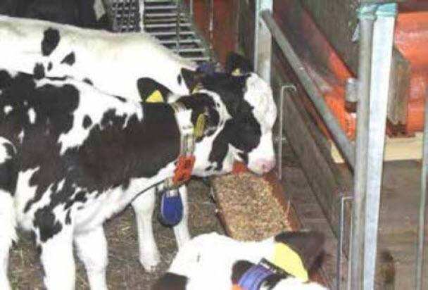 Корма для коров и телят: какой комбикорм бывает, полный обзор