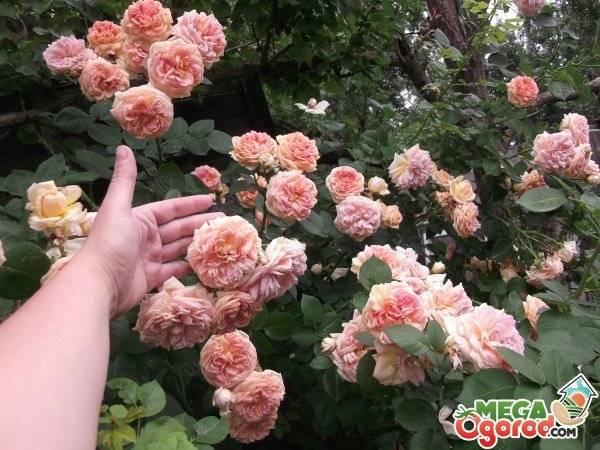 Роза чипендейл (chippendale) - описание, фото, агротехника   о розе