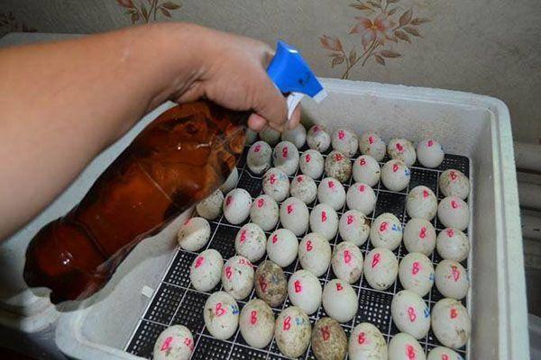 Овоскоп: как правильно овоскопировать яйца
