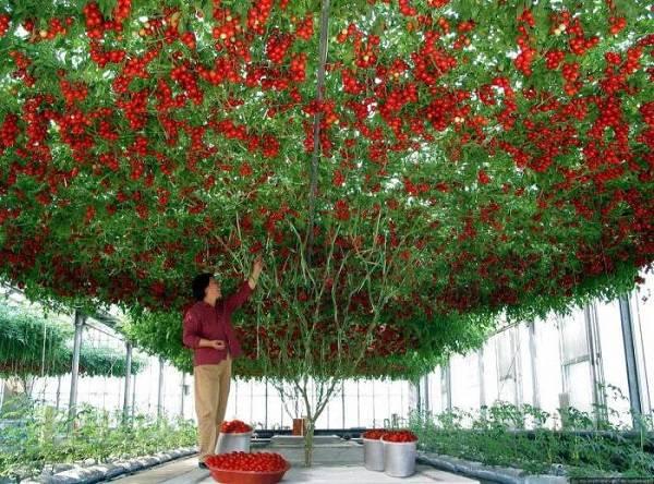 Томатное дерево «цифомандра» – томат ли это?