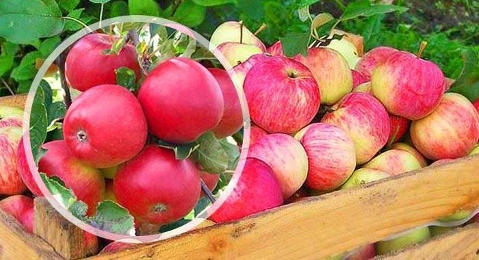 Осеннее полосатое или штрифель - популярный сорт яблок