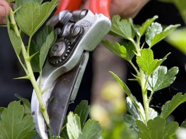 Крыжовник: уход весной, советы бывалых садоводов (обрезка, обработка, удобрение)