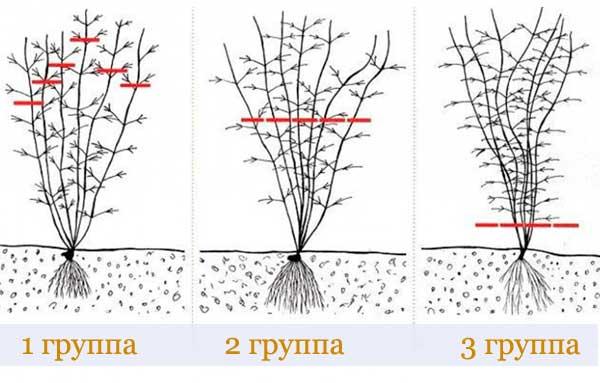 Как посадить и вырастить очаровательный клематис в подмосковье: советы опытного цветовода