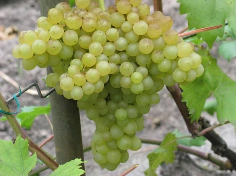 Запорожский кишмиш виноград: описание сорта, характеристика, выращивание и уход
