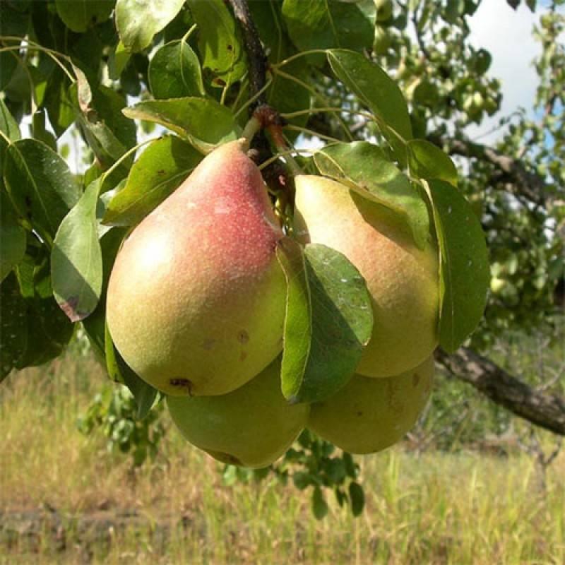 """Сорт груши """"красуля"""": описание плодов и дерева, советы по посадке и уходу"""