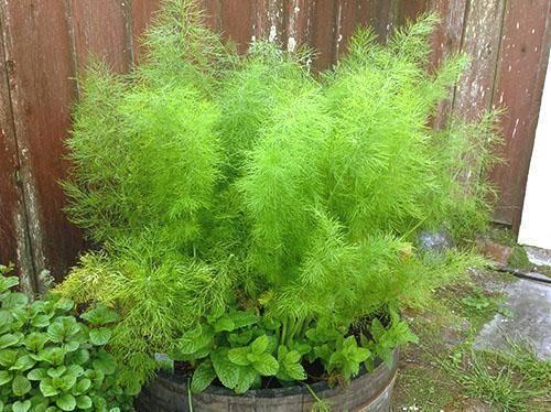 Как выращивать укроп на подоконнике в квартире зимой быстро