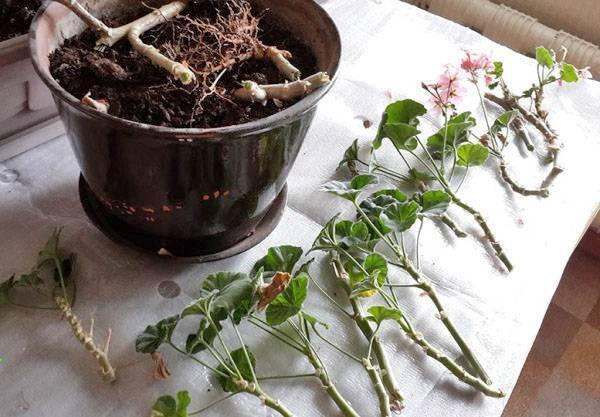 Пересадка цветущей герани в другой горшок в домашних условиях