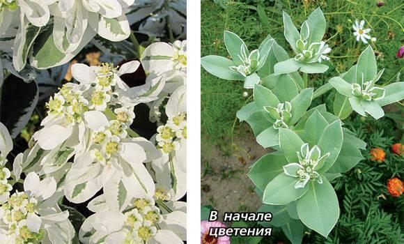 Эуфорбия маргината: выращивание цветка из семян