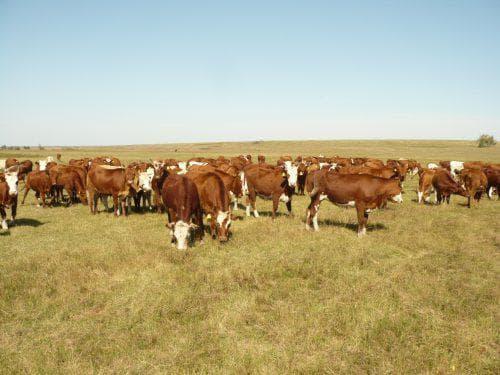Описание калмыцкой породы коров, их фото и видео описание калмыцкой породы коров, их фото и видео