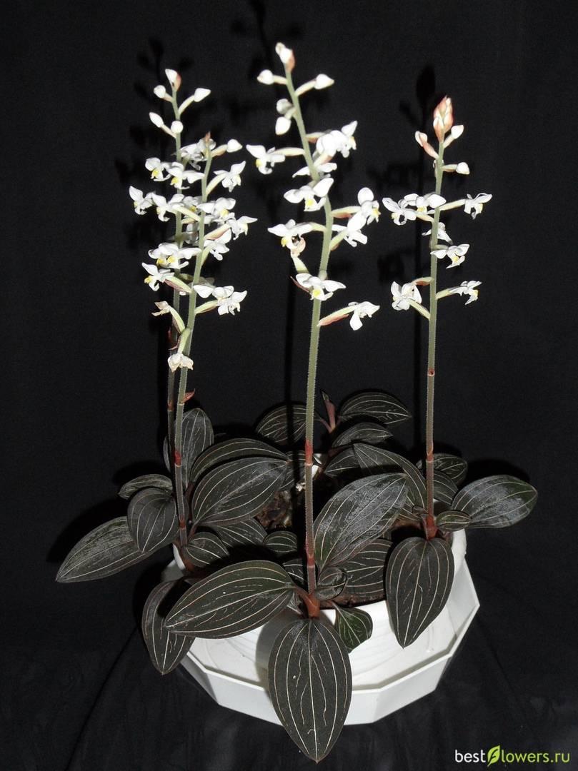 """Орхидея лудизия: фото и подробное описание """"драгоценного"""" растения, виды и правила ухода в домашних условиях"""