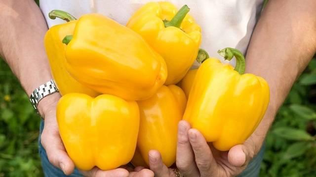 Перец золотое чудо: описание сорта, советы и нюансы при посеве и уходе