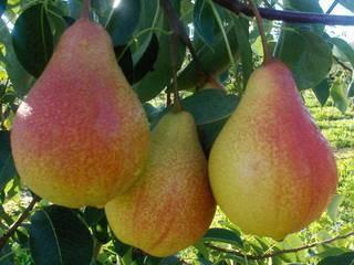 Сорта груш с крупными плодами — таврическая, вековая, татьяна, лира