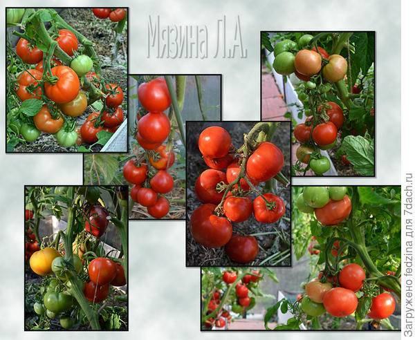 """Томат """"сладкое чудо"""": крупные плоды с ярко-выраженным вкусом"""