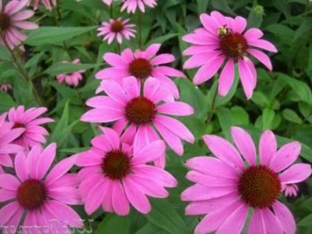 Эхинацея пурпурная. выращивание - венская дача