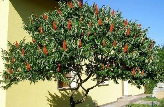 Бораго (огуречная трава): выращивание в саду, полезные свойства