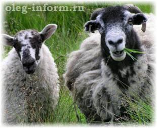 Чем и как правильно кормить овец в домашних условиях?