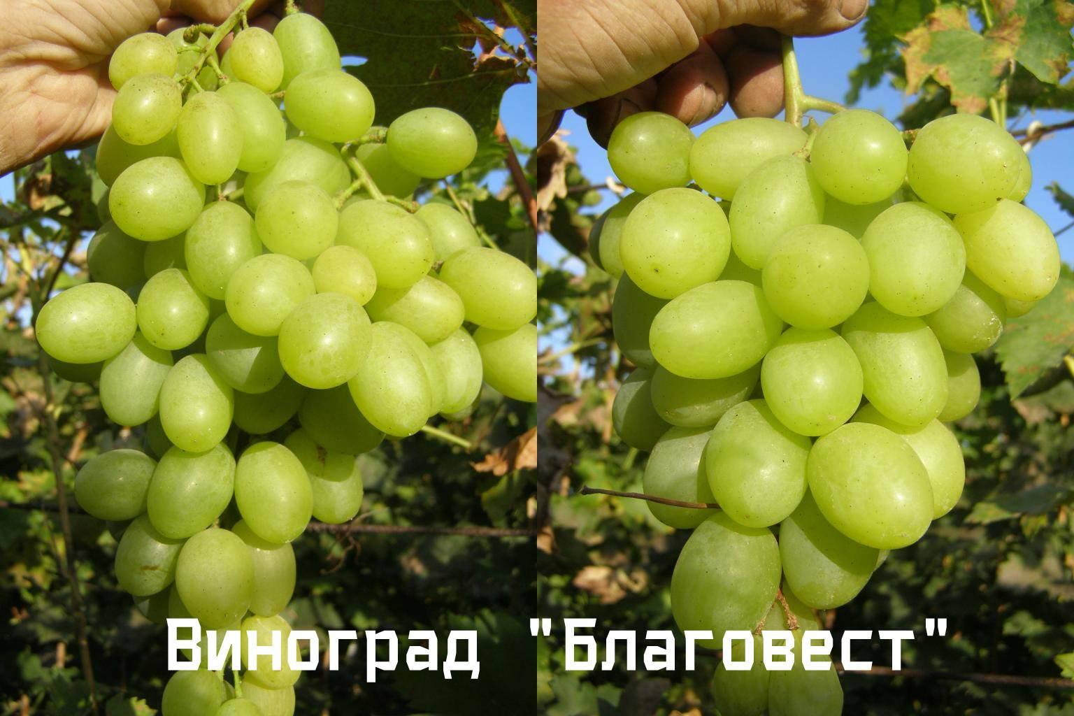 Виноград изюминка: описание сорта, фото, отзывы