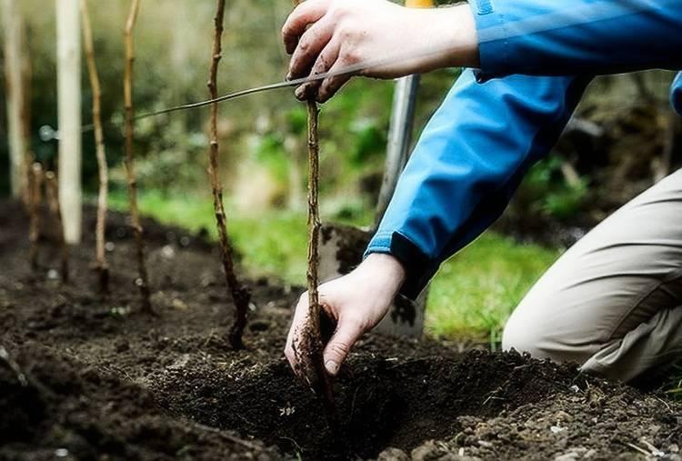 Правила осенней пересадки малины — секреты опытных садоводов