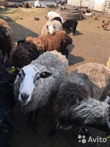 Анатомия баранов – особенности строения овец 2021
