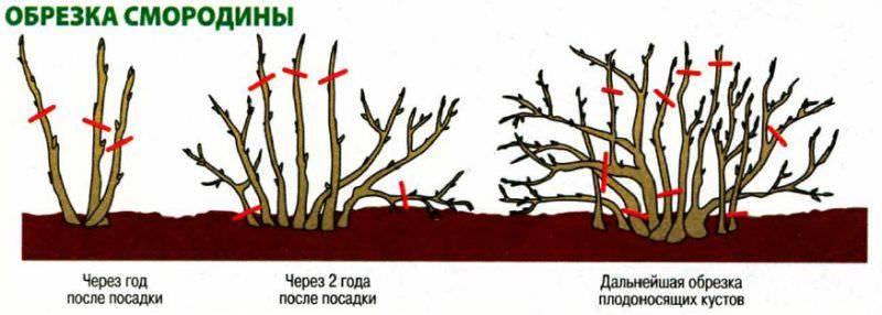 Черная смородина – обрезка и уход осенью
