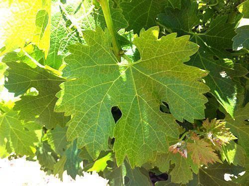 Виноградные листья - полезные и опасные свойства виноградных листьев