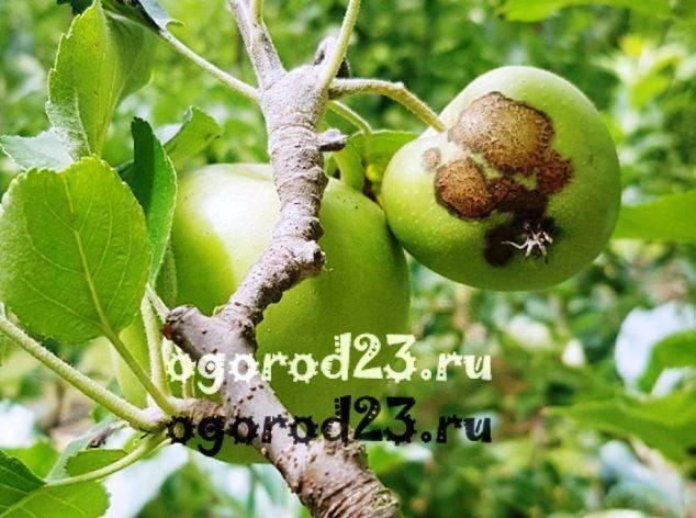 Как избавиться от парши на яблонях, а также меры профилактики заболевания