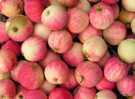 Яблоня зимостойкая башкирский красавец: описание сорта, характеристики, выращивание - про сорта