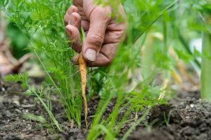 Как проредить морковь. как посадить морковь что бы не прореживать