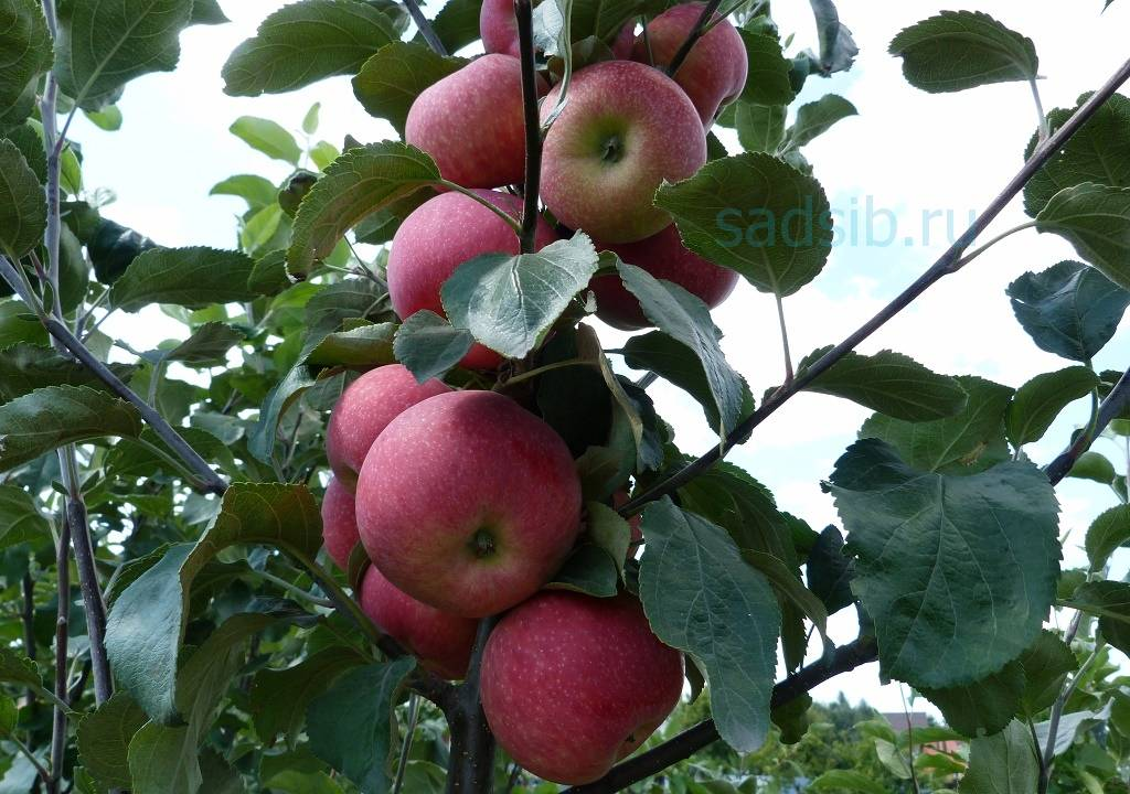Описание и характеристики сорта яблонь июльское черненко, история и выращивание
