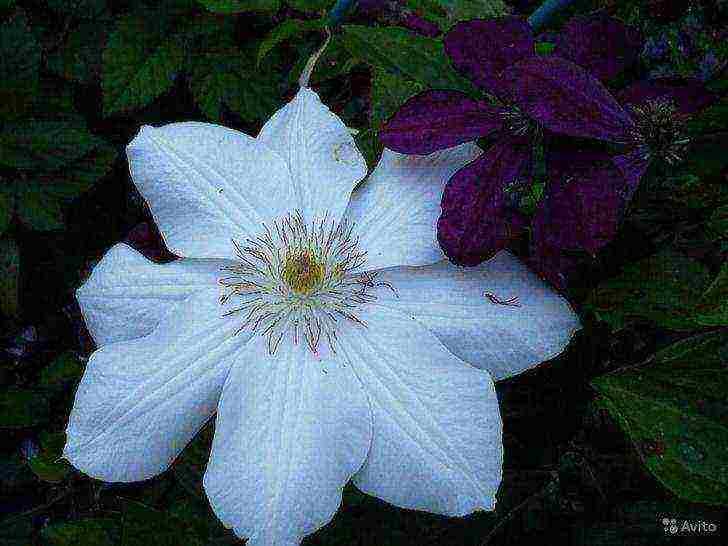 Цветы клематисы - сорта для подмосковья, описание, фото