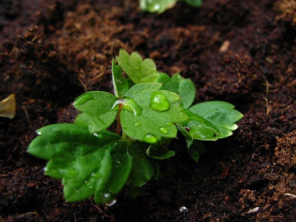 Как вырастить клубнику из семян в домашних условиях, сорта, сроки, посев, уход, пикировка