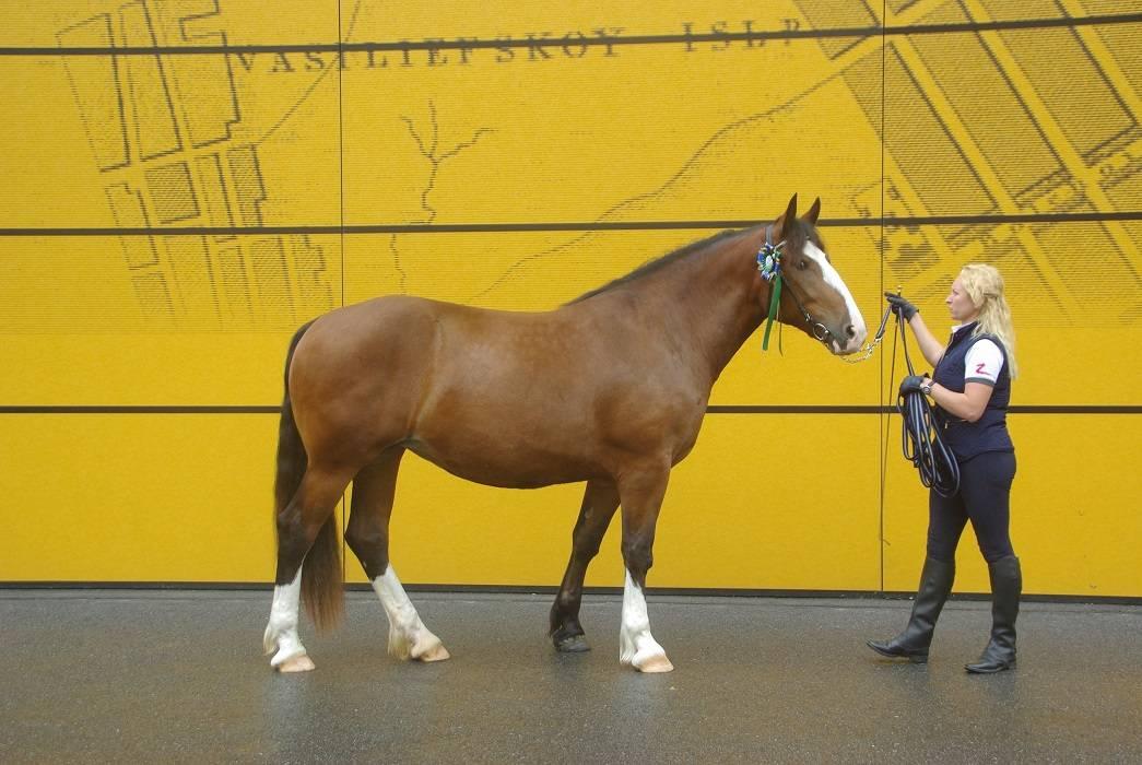Битюг и другие породы лошадей тяжеловозов в россии
