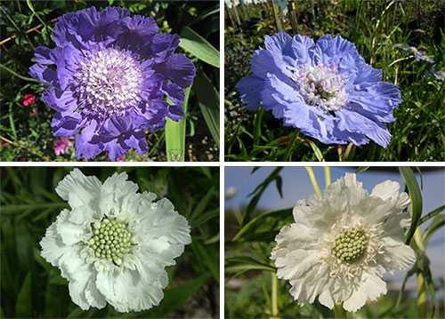 Цветок скабиоза: посадка, уход и выращивание из семян