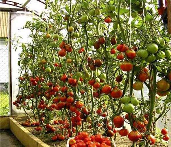 Как выращивать томатное дерево в теплице