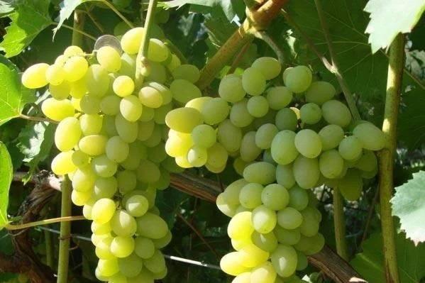 Виноград «Лора»: описание сорта, фото, отзывы