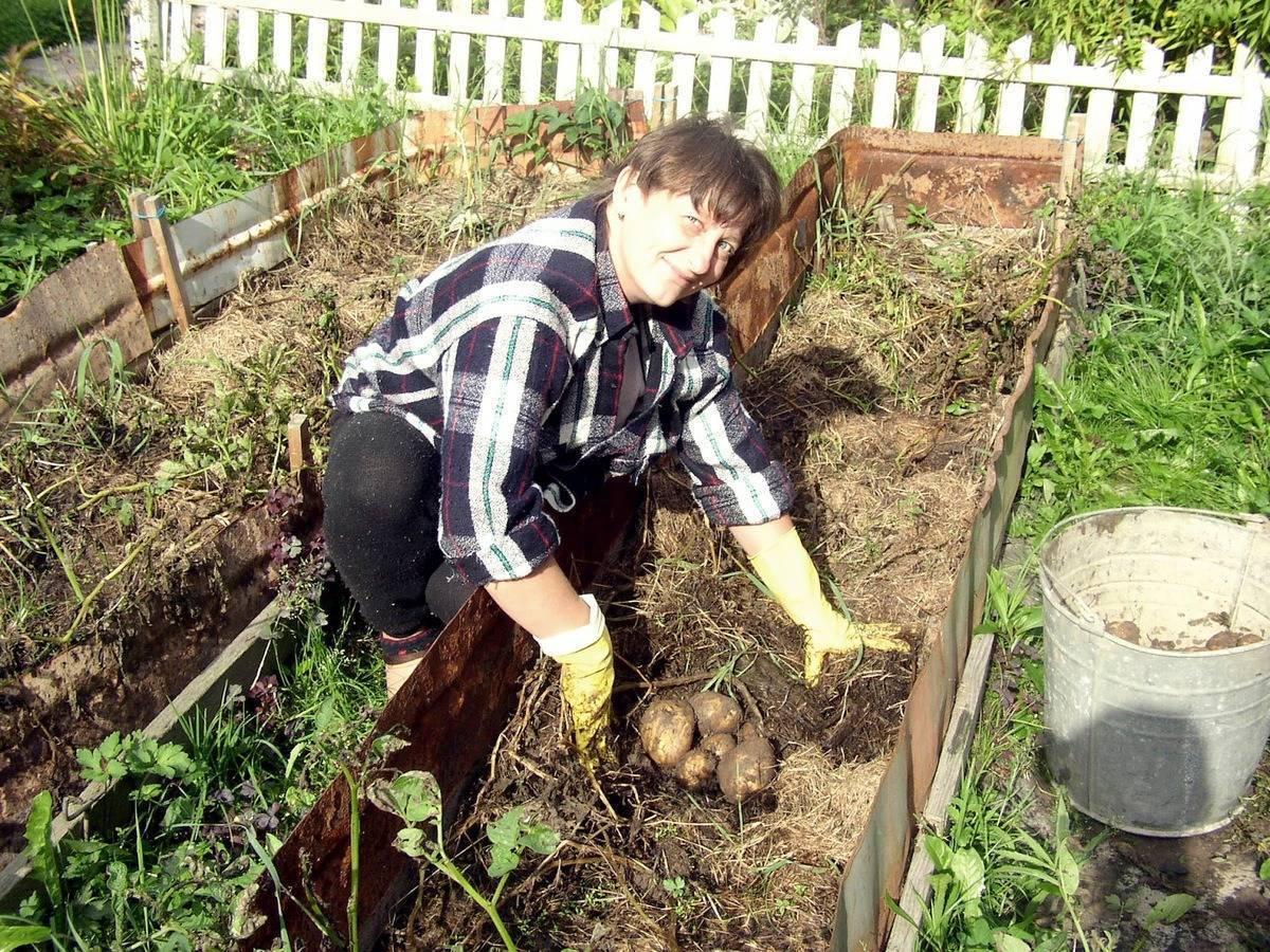 Посадка и выращивание картофеля по методу галины кизимы: особенности и правила посадки, отзывы